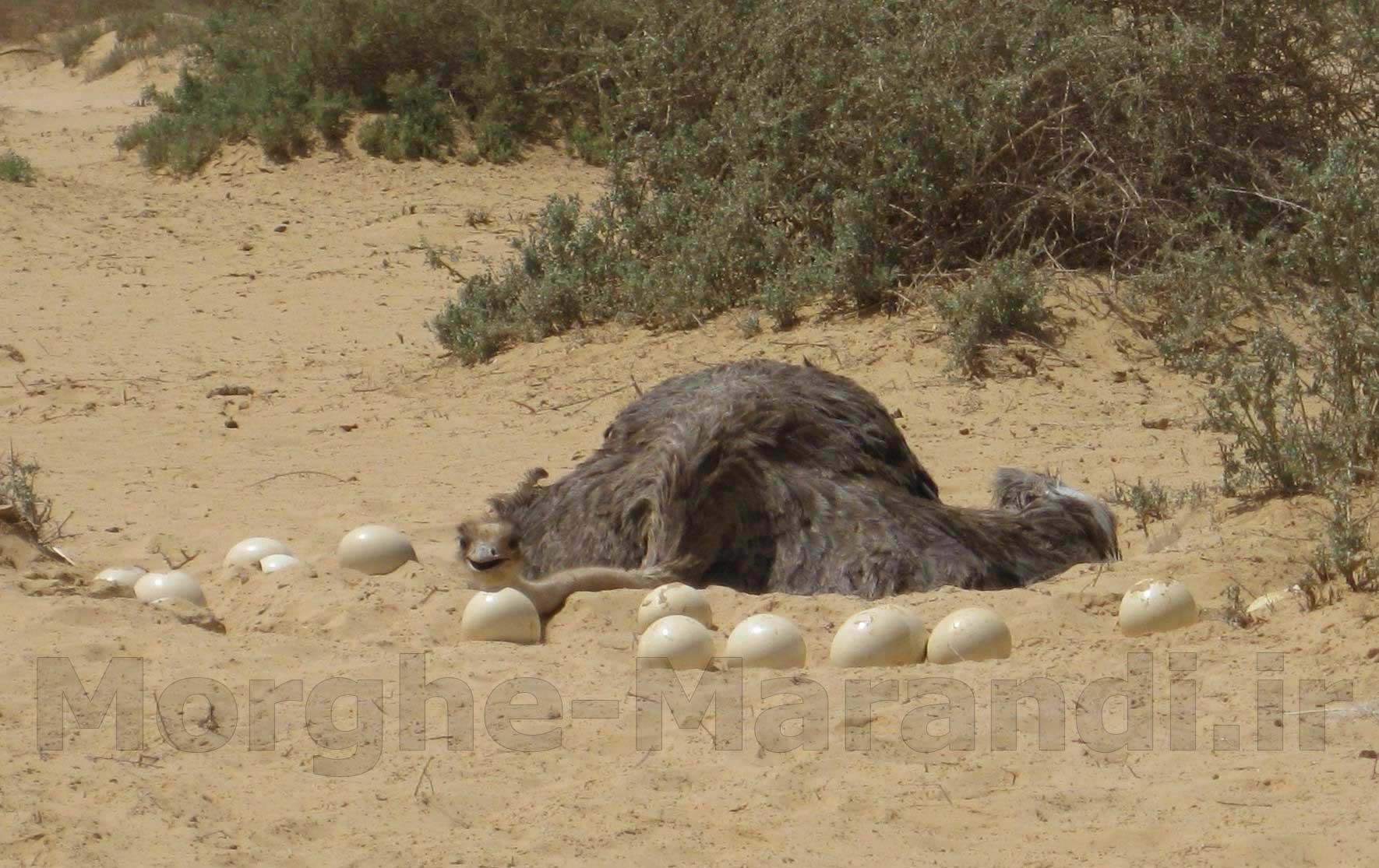 پرورش شتر مرغ در مناطق گرمسیری