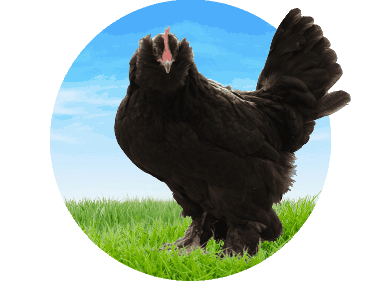 معرفی مرغ مرندی اصلی