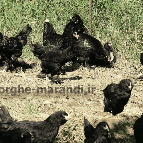 اولین پرورشگاه مرغ مرندی در ایران