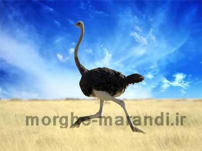 حقایقی در مورد شترمرغ