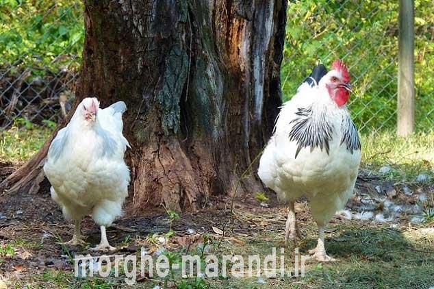 ساسکس از بهترین نژادهای تخمگذار در دنیا