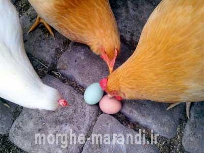 عواملی که تولید تخم را تحت تاثیر قرار میدهند