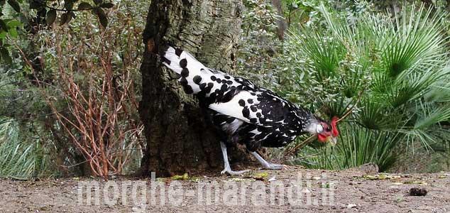 هامبرگ از بهترین نژادهای تخمگذار در دنیا
