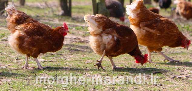 گلدن کامت از بهترین نژادهای تخمگذار در دنیا