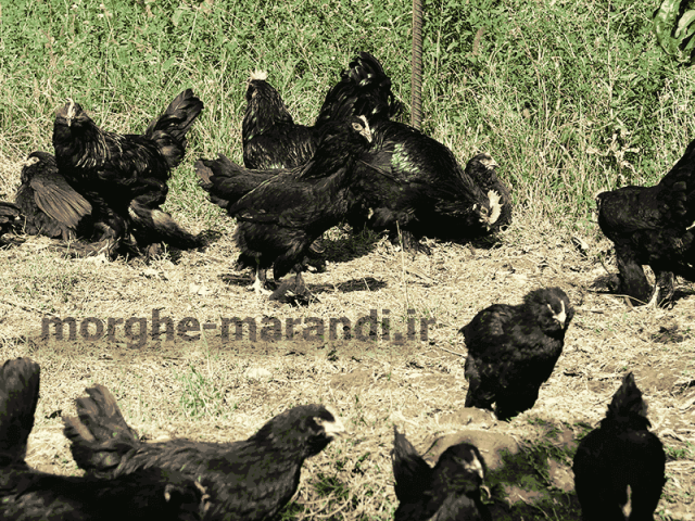 پرورشگاه مرغ مرندی