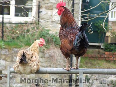 آیا مرغ برای تخم گذاری به خروس نیاز دارد
