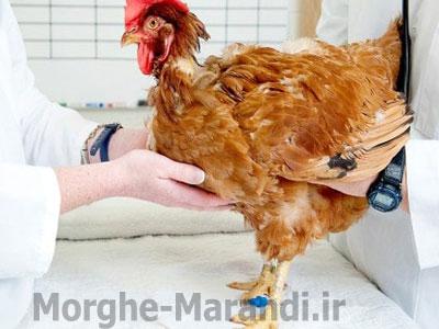 بیماری های شایع مرغ ها و نحوه درمان آنها