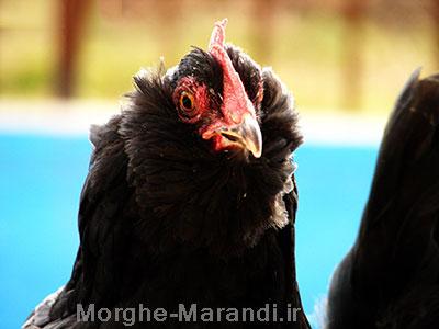 خواص مرغ سیاه مرندی