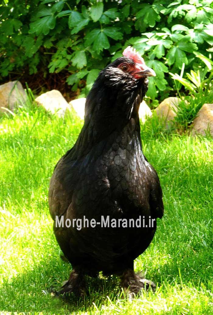مشخصات ظاهری مرغ سیاه مرندی