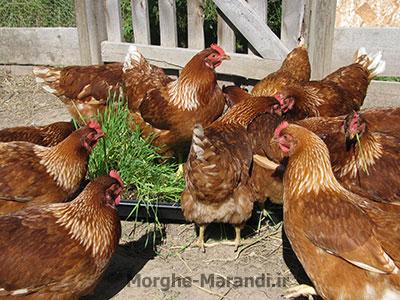 افزایش تولید تخم مرغ