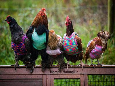 دلایل نگهداری خروس با مرغ ها - اهمیت پرورش خروس در بین مرغ ها
