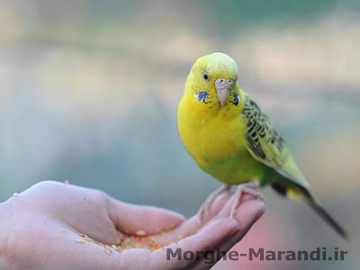 روش های نگه داشتن پرنده در دست