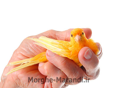 نگهداری پرنده به عنوان حیوان خانگی