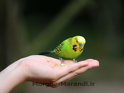 گرفتن پرنده با دست