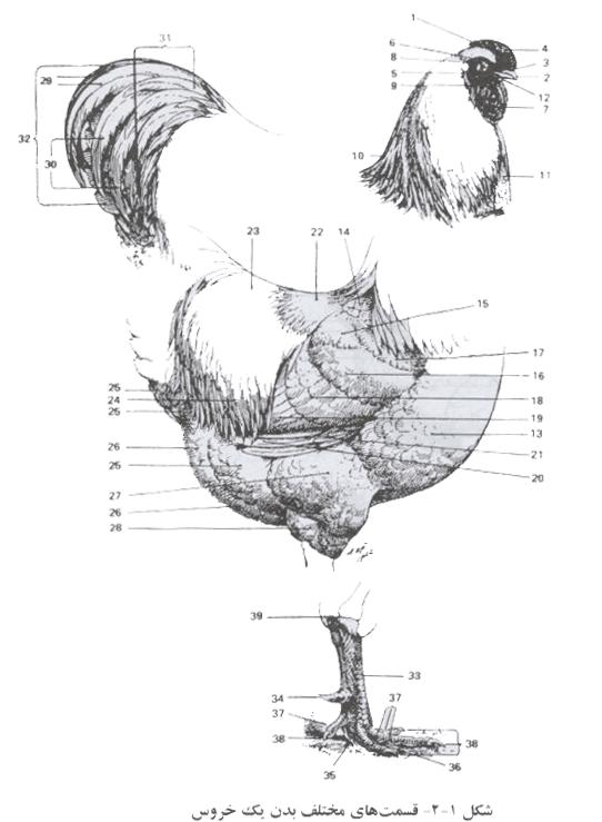 قسمت های مختلف بدن یک خروس
