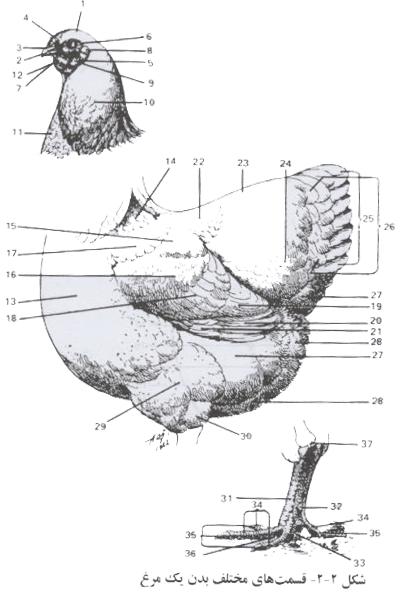 قسمت های مختلف بدن یک مرغ