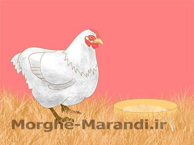 به مرغ های خود خوراک کامل بدهید