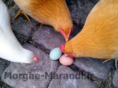 تخم خواری طیور و راه های پیشگیری و درمان