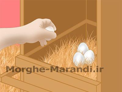 جمع آوری تخم مرغ ها
